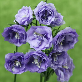 草花の苗/カンパニュラ:ラ ベル3.5号ポット