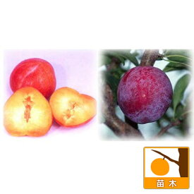 果樹の苗/スモモ(プラム)2種受粉樹セット:サンタローザと太陽