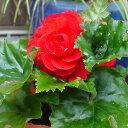 草花の苗/フォーチュンベゴニア:スカーレット3.5号ポット3株セット