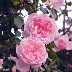 バラの苗/[送料無料]つるバラ:シンデレラ8号大型アンドン仕立て