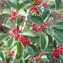 花木 庭木の苗/クロガネモチ樹高1.5m根巻き(カノヤモチ)