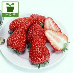 野菜の苗/イチゴ:紅ほっぺ3号ポット 3株セット
