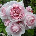 バラの苗/[開花予定のバラ苗予約:第二弾]デルバールローズ:ナエマ(ナヘマ)6号角鉢植え