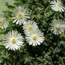 草花の苗/耐寒マツバギク:砂漠の宝石ムーンストーン3号ポット
