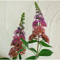 花木庭木の苗/ブッドレア:フラワーパワー3.5号ポット