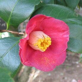 花木 庭木の苗/ヤブツバキ(藪椿)4号ポット樹高50cm 10本セット
