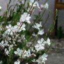 草花の苗/ガウラ(白蝶草):リンドハイメリー3.5号ポット