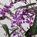 草花の苗/ハーデンベルギア:パープル(ハッピーワンダー)3.5号ポット
