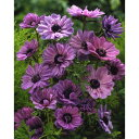 球根/アネモネ:菊咲き 紫50ml(約15〜20球)入り