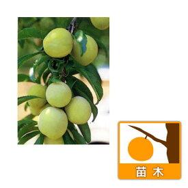 果樹の苗/ウメ(梅):なんこう(南高)4〜5号ポット
