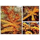 果樹の苗/シーベリー受粉セット:メス木3種とオス木のセット