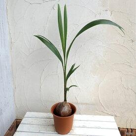 観葉植物/ココヤシ 7号鉢植え