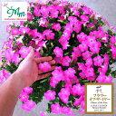 草花の苗/ペチュニア:マドンナの宝石(ピンク)3.5号ポット