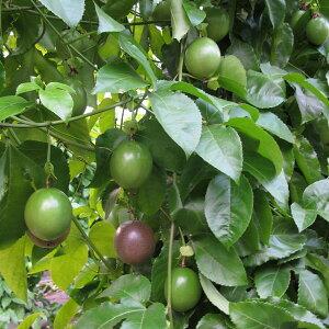 果樹の苗/パッションフルーツ(クダモノトケイソウ):パープル(紫玉100)大苗4号ポット