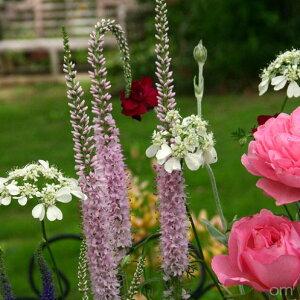 草花の苗/ベロニカ:フェアリーテイル3.5号ポット 2株セット