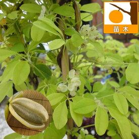 果樹の苗/アケビ:バナナアケビ(白あけび)4号ポット