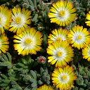 草花の苗/耐寒マツバギク:砂漠の宝石ペリドット3号ポット