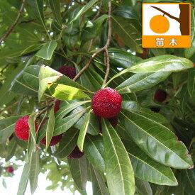 果樹の苗/(訳あり品)ヤマモモ(山桃):瑞光(ずいこう)4号ポット