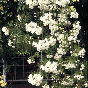 バラの苗/[送料無料]モッコウバラ:白花八重3号ポット28株セット