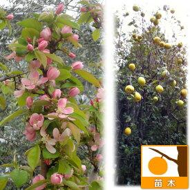 果樹の苗/カリン(花梨)4〜5号ポット