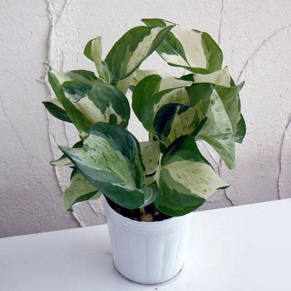 観葉植物/ポトス:ステータス3号ポット苗