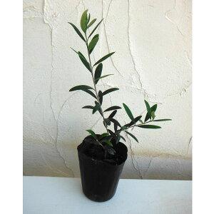 果樹の苗/オリーブ:ネバティロブランコ3〜3.5号ポット*