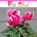 草花の苗/ガーデンシクラメン:ファンタジアパープル3号ポット