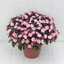 草花の苗/インパチェンス:サンパチェンスさくさくブラッシュピンク3.5号ポット