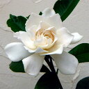 花木 庭木の苗/クチナシ:八重咲きクチナシ5号ポット