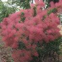 花木 庭木の苗/スモークツリー:リトルルビー4号ポット