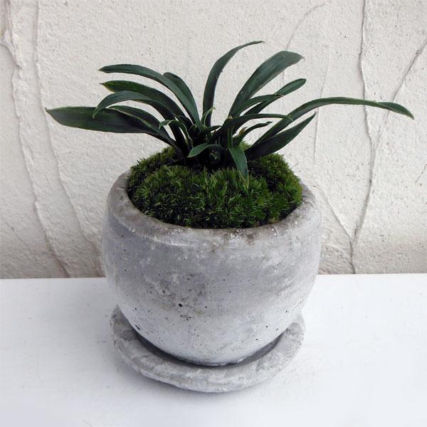 観葉植物/万年青 (おもと):ロゼッタボウルSS植え・ソーサー付
