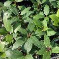 花木庭木の苗/ゲッケイジュ(月桂樹ベイ)3〜3.5号ポット2株セット