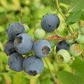 果樹の苗/ブルーベリー:オニール5号ポット