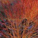花木 庭木の苗/サンゴミズキ(コルヌスアルバ):ミッドウインターファイヤー5号ポット