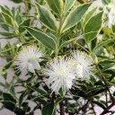 花木 庭木の苗/マートル(ギンバイカ・銀梅花):斑入り5号ポット