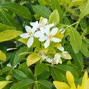 花木 庭木の苗/メキシカンオレンジ ブロッサムサンダンス4号ポット