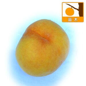 果樹の苗/モモ(桃):黄金桃(オウゴントウ)4〜5号ポット[黄肉桃の代表的な品種・8月上旬〜中旬収穫]