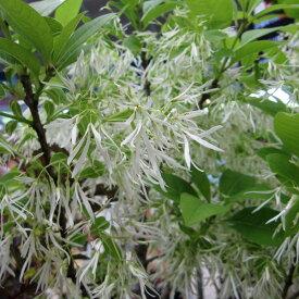 花木 庭木の苗/アメリカヒトツバタゴ4〜4.5号ポット