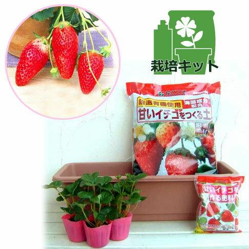 野菜の苗/いちごプランター栽培キット:あきひめ(章姫)3株セット