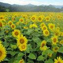 [4〜8月まき タネ]景観形成作物:ヒマワリ・ハイブリッドサンフラワー200g