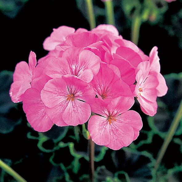 草花の苗/黒葉ゼラニウム:ブラックベルベット ピンク3.5号ポット