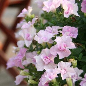 草花の苗/ペチュニア:ピンクバニラ3.5号ポット2株セット