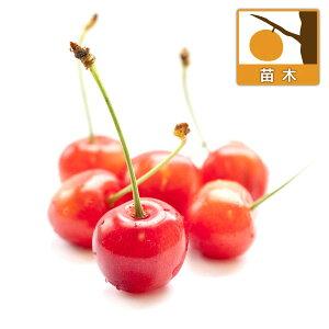 果樹の苗/サクランボ:さとうにしき(佐藤錦)4〜5号接木苗ポット