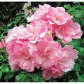 バラの苗/フラワーカーペットローズ:アップルブロッサム3.5号ポット