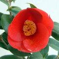 花木庭木の苗/椿(ツバキ):赤西王母4号ポット