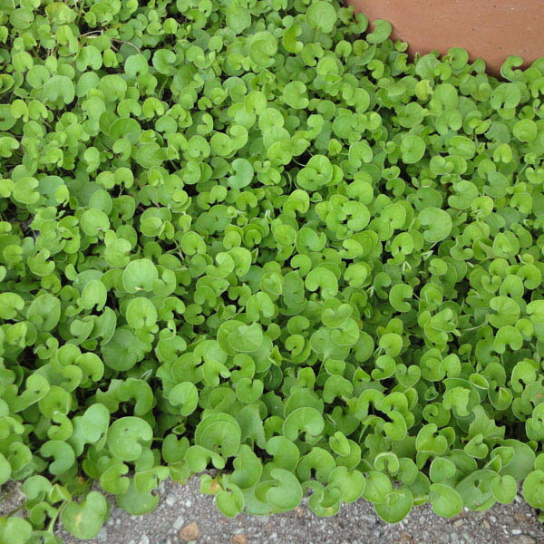 ダイカンドラ(ダイコンドラ):緑葉500g[タネ]