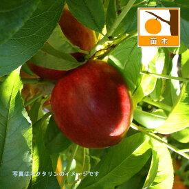 果樹の苗/モモ(桃):早生ワッサー4.5号ポット