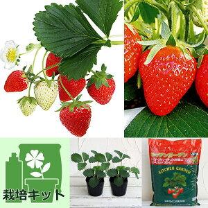 野菜の苗/いちごのかんたん栽培セット(鉢無しでできる):イチゴ:めちゃデカッ!いちご