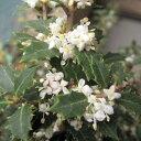花木 庭木の苗/ヒイラギ:香姫(カオリヒメ)3号ポット[極小葉で香りのよい白花を11月頃に咲かせる柊]