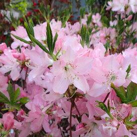 花木 庭木の苗/ツツジ:クロフネツツジ樹高40cm根巻きまたはポット入り